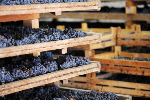 Fototapeta Appassimento uva per amarone obraz