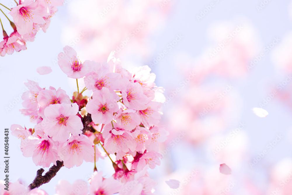 Fototapeta 満開の桜