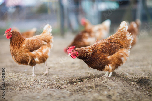 Photo Closeup of a hen in a farmyard (Gallus gallus domesticus)