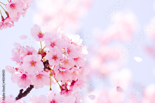 Obraz 満開の桜 - fototapety do salonu