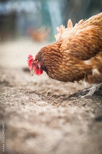 Keuken foto achterwand Kip Closeup of a hen in a farmyard (Gallus gallus domesticus)