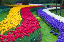Bright Flowerbed In Keukenhof