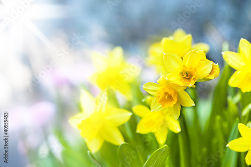 Papiers peints Narcisse Narzissen/Narcissus