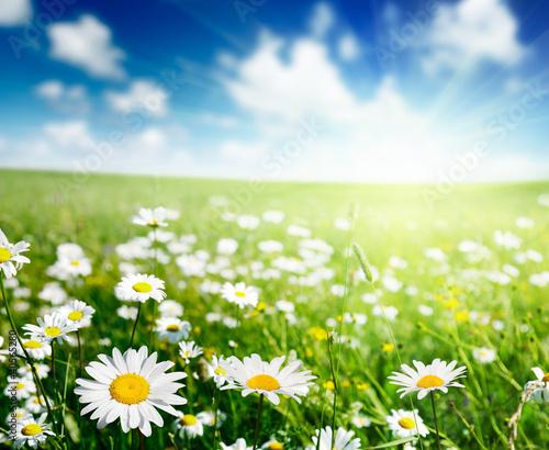 Doppelrollo mit Motiv - field of daisy flowers (von Iakov Kalinin)
