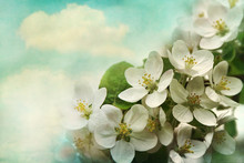Apple Blossoms On Soft Blue Background