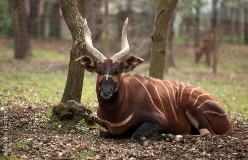Photo Stands Antelope bongo couché