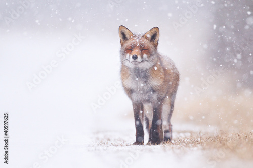 Vászonkép red fox in