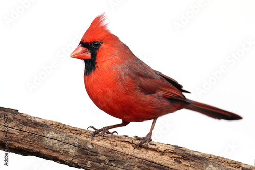 Isolated Cardinal On A Stump Wallpaper Mural