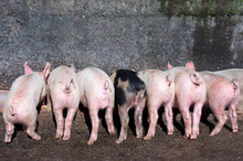 Piglets Eating At Trough With ...
