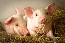 Pigs In A Barn I