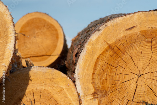 Poster Roe Logs of tree