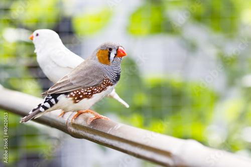 Photo  Oiseau du bengale
