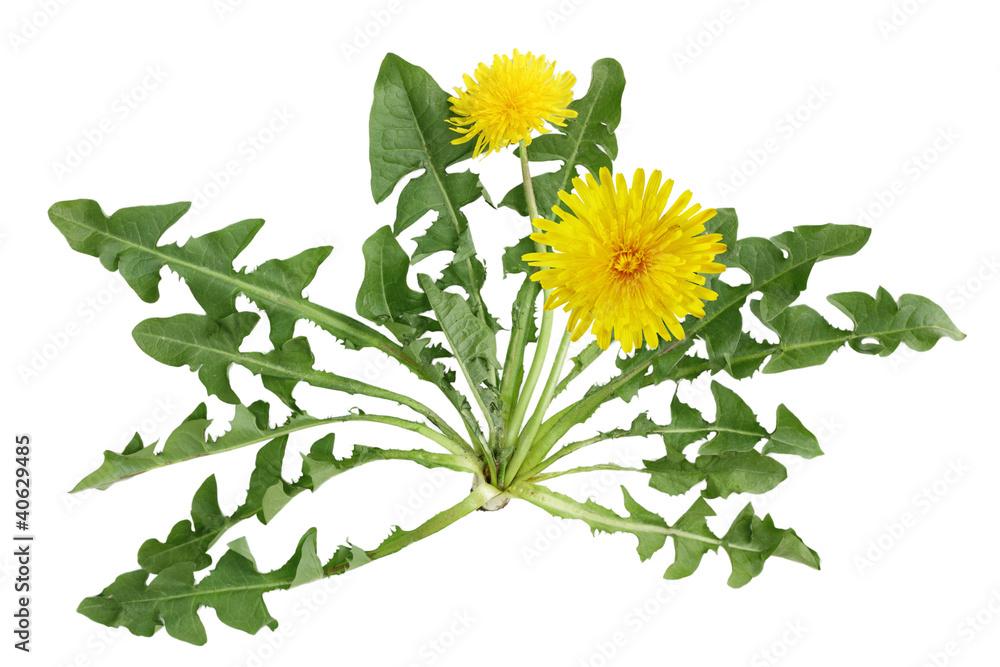 Fototapety, obrazy: Dandelion plant