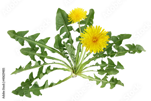 Poster Dandelion Dandelion plant