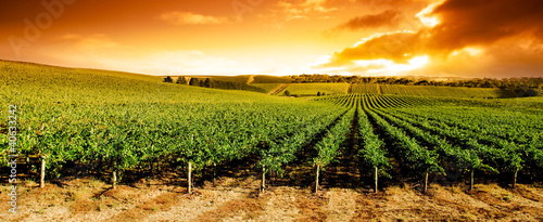Foto op Canvas Wijngaard Sunset Vineyard Panorama