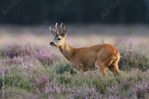 In de dag Ree a roe deer in a field of header