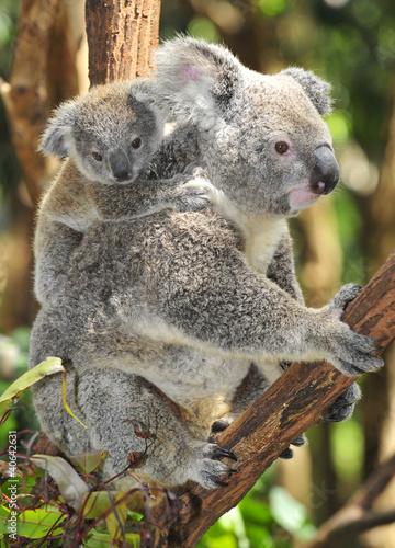 Staande foto Koala Australian Koala Bear with her baby, Sydney, Australia grey bear