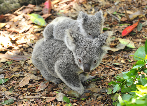 Garden Poster Koala Australian Koala Bear with her baby, Sydney, Australia grey bear