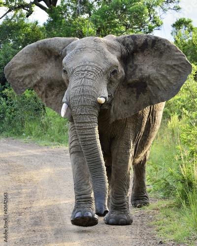 Foto op Aluminium Olifant Charging Elephant