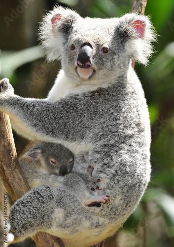 Garden Poster Koala Australian Koala Bear in eucalyptus tree , Sydney, Australia