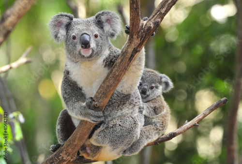 Spoed Foto op Canvas Australië Australian Koala Bear with her baby, Sydney, Australia grey bear