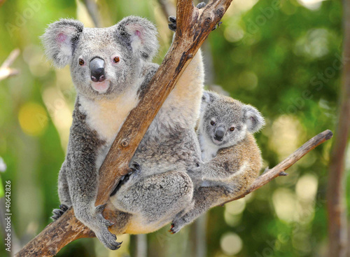Spoed Foto op Canvas Koala Australian Koala Bear with her baby, Sydney, Australia grey bear