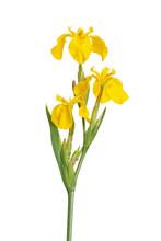 Stem And Flowers Of Iris Pseodacorus