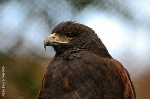 Fotografie, Tablou  Harris Hawk Close Up
