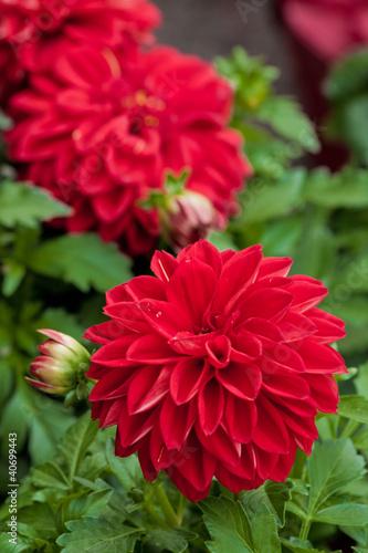 Papiers peints Dahlia Dahlia flower
