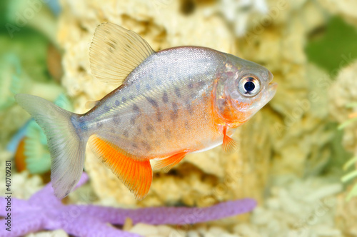 Piranha fish - Buy this stock photo and explore similar