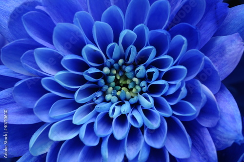 Tuinposter Macro Close up of blue flower : aster with blue petals