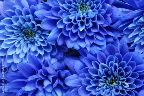 Garden Poster Macro Close up of blue flower : aster with blue petals