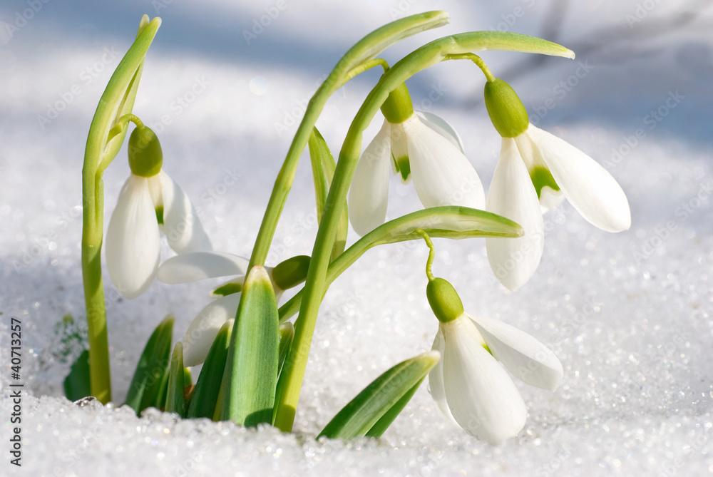 Fototapeta Spring snowdrop flowers