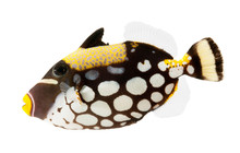 Marine Fish Clown Triggerfish  Isolated On White Background