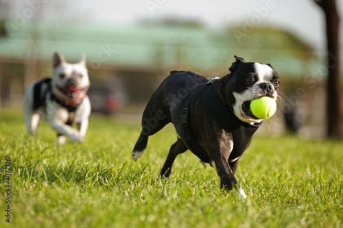 Staande foto Franse bulldog Two French Bulldog playing fetch in a park