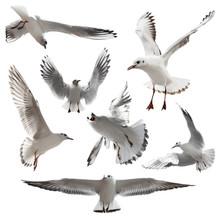 Seagulls Isolated