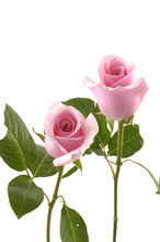 Two Pink Rose On Stem With Gre...