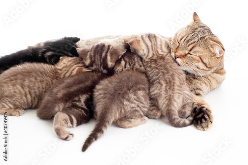 five kittens brood feeding by mother cat isolated - 40749415