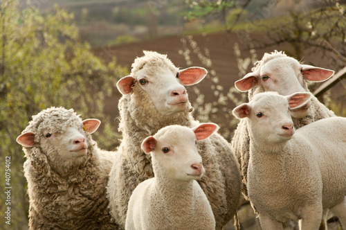 Sheep and lambs on pasture