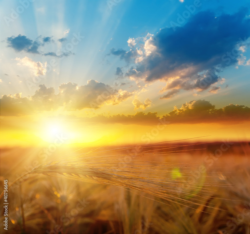 Papiers peints Morning Glory golden sunset over field with barley
