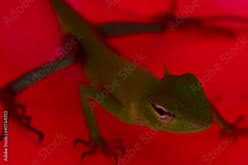 Lizard on a red Canvas Print