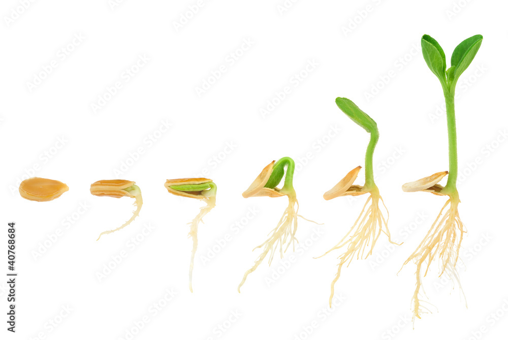 Fototapety, obrazy: Sequence of pumpkin plant growing isolated, evolution concept