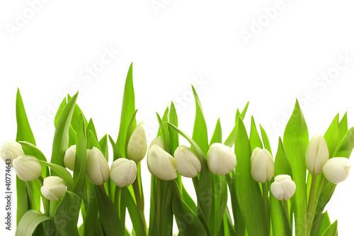 Foto op Canvas Tulp Weiße Tulpen