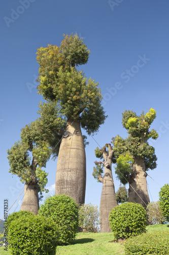 Papiers peints Baobab australian baobab trees in botanic garden