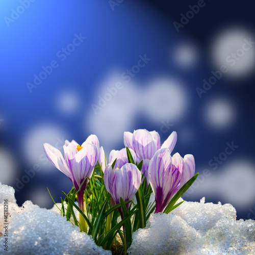 Photo sur Aluminium Crocus Crocus in the snow