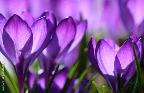 Tuinposter Krokussen purple light
