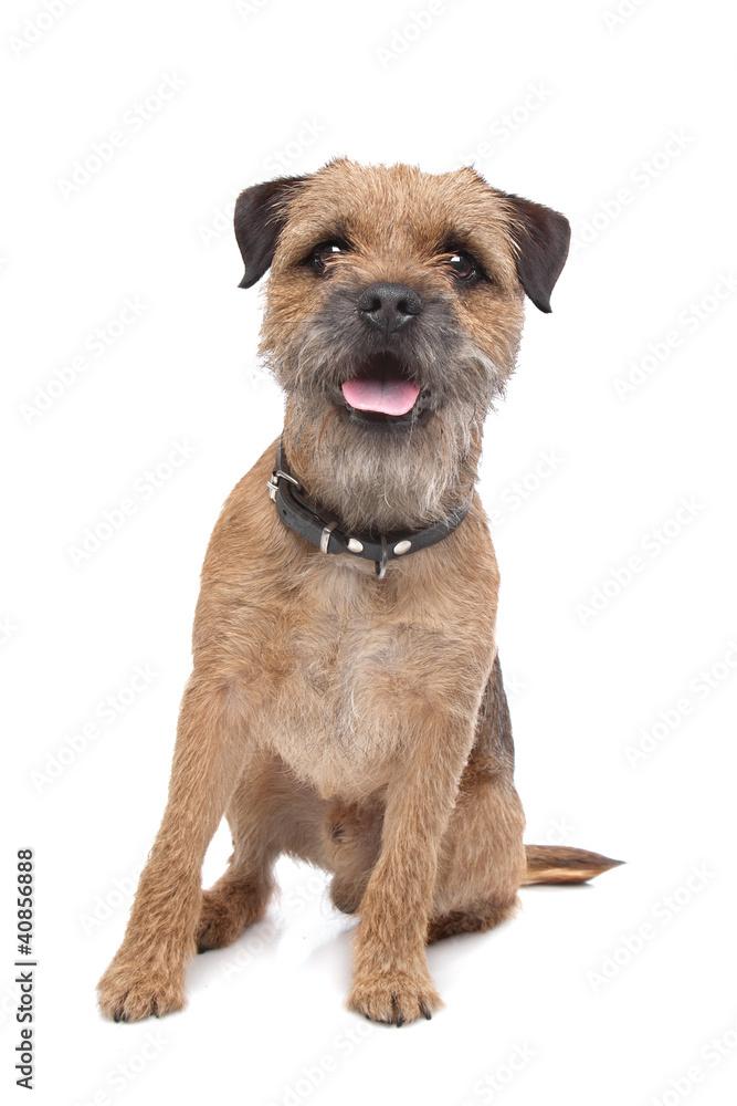 Fototapety, obrazy: Border Terrier