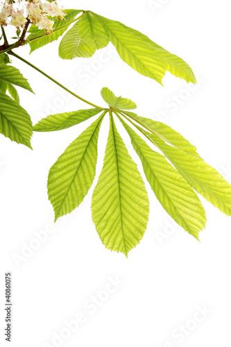 Photo Fresh chestnut leafs