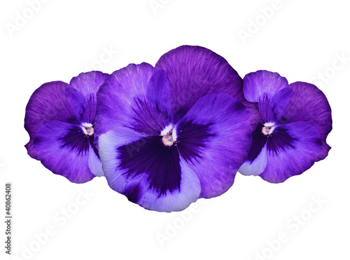 Poster Pansies Purple pansy flowers