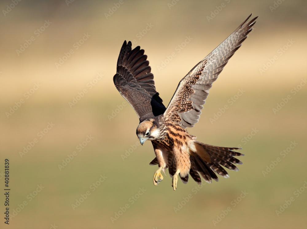 Fotografie, Obraz Lanner falcon landing